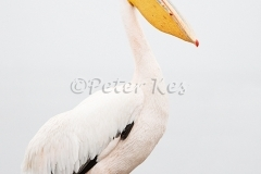white-pelican_lakekerkini_20110227_a23d8774