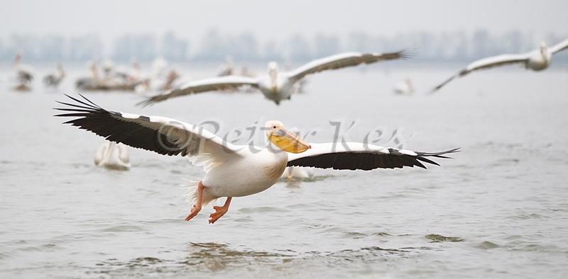 white-pelican-flight_lakekerkini_20110227_a23d8824