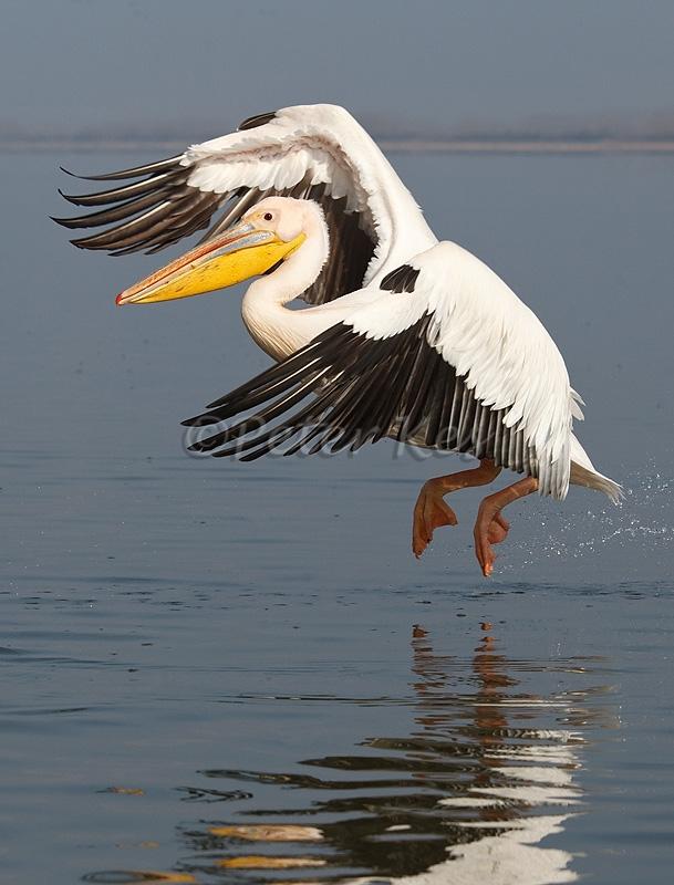 white-pelican-flight_lakekerkini_20110304_a23d3989