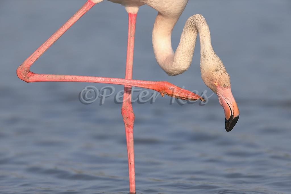 flamingo_camargue_20130607__90r4639