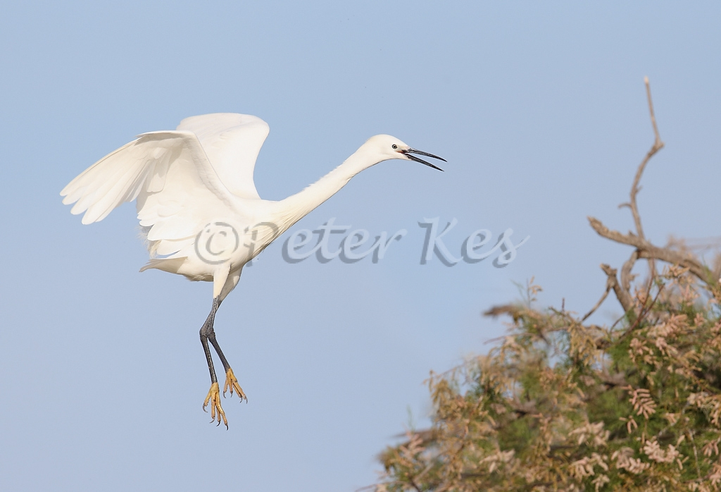 little-egret_camargue_20130607__90r4581