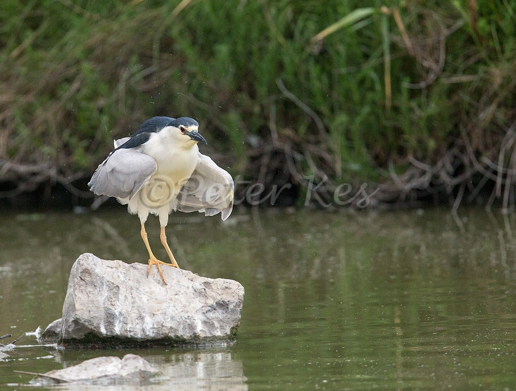night-heron_camargue_20130609__90r4977