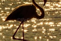 bll-flamingo_camargue_20130610__90r5238