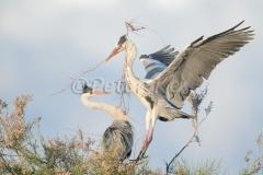 blue-heron-nesting_camargue_20130610__90r5965