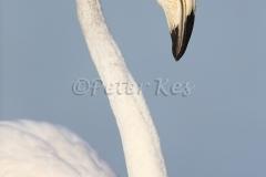 flamingo-juv_camargue_20130607__90r4618