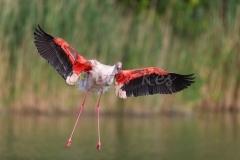 flamingo_camargue_20130607__90r4517