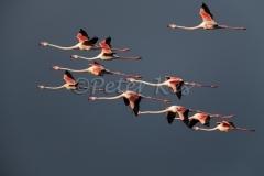 flamingo_camargue_20130610__90r5715