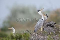 grey-heron-nest_camargue_20130609__90r4889