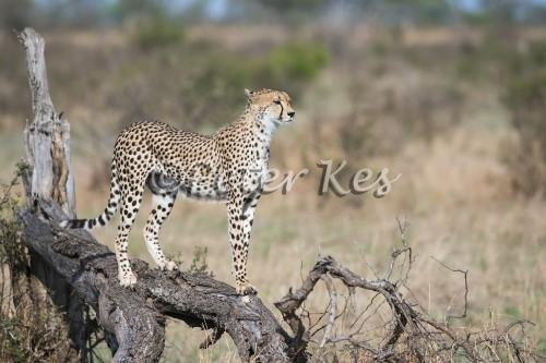 cheetah_sa_ug_20141024__90r7844
