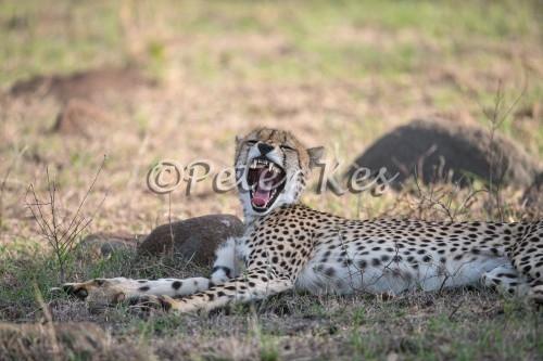 cheetah_sa_ug_20141024__90r7916