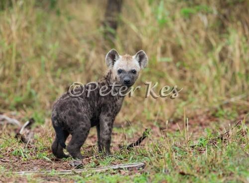 hyena-pup_sa_ug_20141023__90r7126