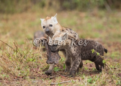 hyena-pups-playing_sa_ug_20141023__90r7044