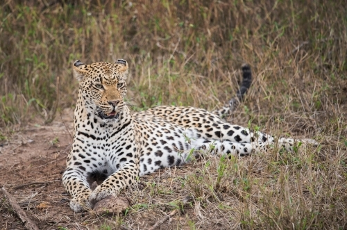 leopard-female_sa_ug_20141022__90r5641