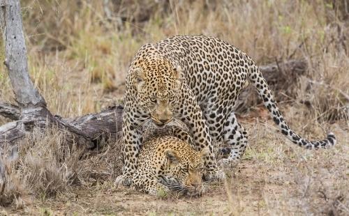 leopard-mating_sa_ug_20141021_g1pk7055