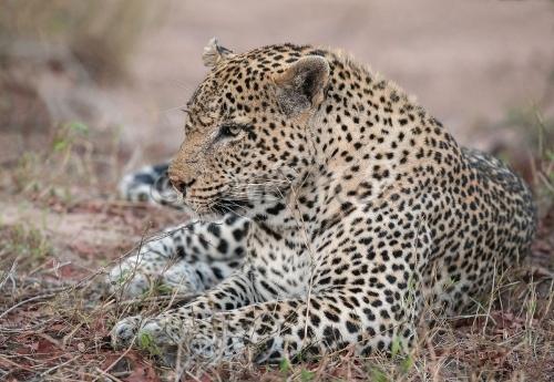 leopard-male_sa_ug_20141020__90r4808
