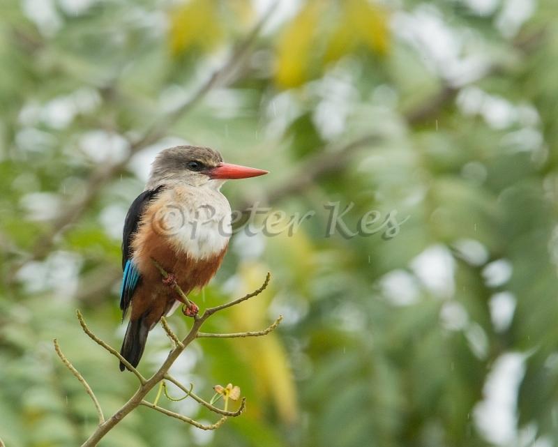 grey-headed-kingfisher_sa_ug_20141102__90r1711