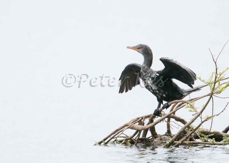 longtailed-cormorant_sa_ug_20141030__90r9772