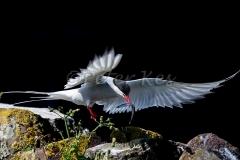 Arctic-Tern_20150703__1DX3292
