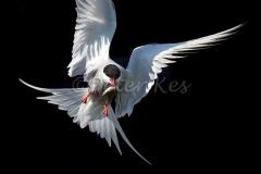 Arctic-Tern_20150703__1DX3303