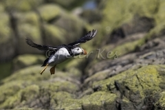 Puffin_20150703__1DX3115