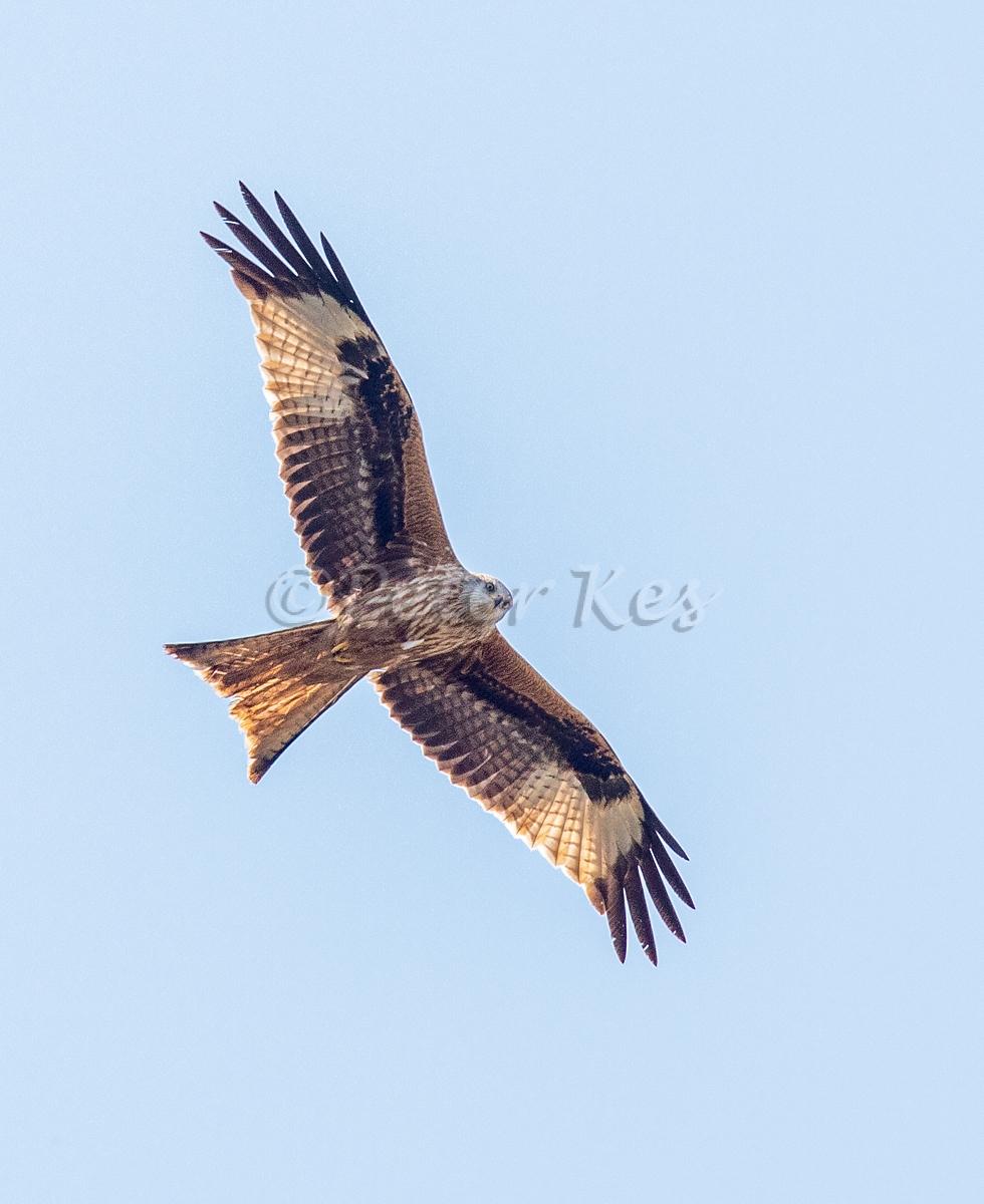Black-Kite_Oberwil_20200410__5D47136