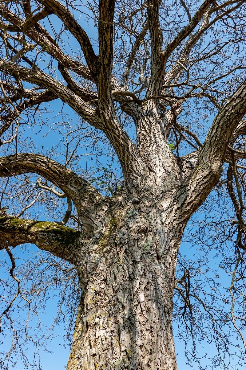 Walnutt-Tree_Oberwil_20200410_DSC01015