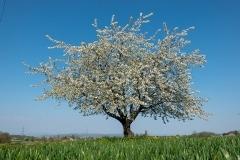 Cherry-Blossom_Oberwil_20200410_DSC01013