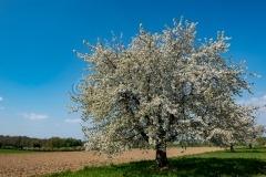 Cherry_Oberwil_20200411_DSC01062