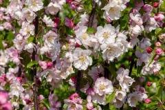 Prunus_Oberwil_20200411_DSC01063