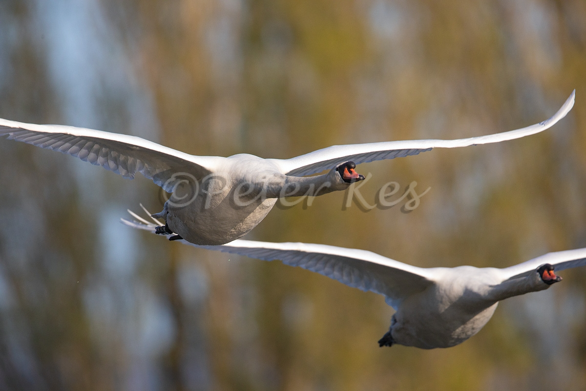 Swans-In-Flight-20180421__5D47049
