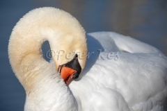 Swan-Preening_20180421__5D47094
