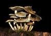 mushroom_oberwil_20101015_img_6310