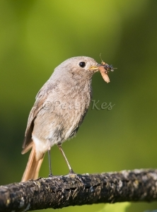 Redstart-Female_20150527_1U5A1988