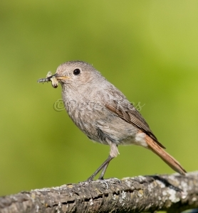 Redstart-Female_20150529_1U5A2161