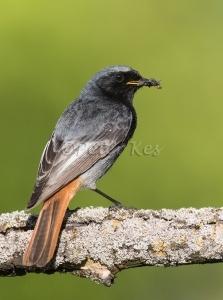 Redstart-Male_20150529_1U5A2138
